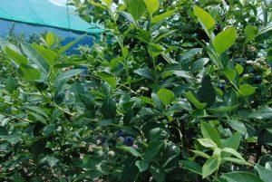 20160610ブルーベリー畑
