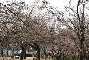 20170412桜が池